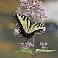 Tiger Swallowtail Butterfly On Common Milkweed 2 by Rich Bodane
