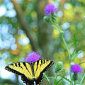 Tiger Swallowtail Butterfly by Robert  Suits Jr