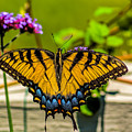 Tiger Swallowtail Butterfly By Fence by Nick Zelinsky