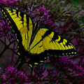 Tiger Swallowtail by Chris Lord