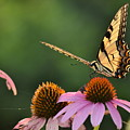 Tiger Swallowtail by JD Grimes
