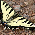 Tiger Swallowtail by Jeff VanDyke