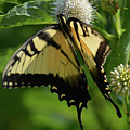 Tiger Swallowtail On Button Bush by Ruth Housley