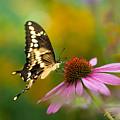 Tiger Swallowtail On Cone Flower by Rikk Flohr