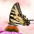Tiger Swallowtail On Coneflower by Abeselom Zerit