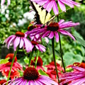 Tiger Swallowtail On Coneflower by Susan Savad
