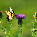 Tiger Swallowtail On Thistle by Alan Lenk