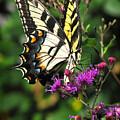 Tiger Swallowtail by Peg Urban