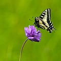 Tiger Swallowtail by Randall Ingalls