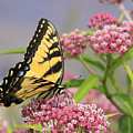 Tiger Swallowtail by Sharon Korte