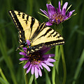 Tiger Swallowtail by Susan Wright