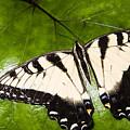 Tiger Swallowtail by Thomas R Fletcher