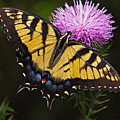 Tiger Swallowtail by William Jobes