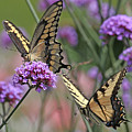Tiger Swallowtails by Mike Dickie