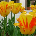 Tiger Tulips by Cynthia Butler