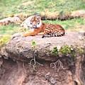 Tiger by Vennie Kocsis