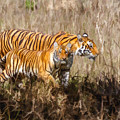 Tigers Burning Bright by Liz Leyden