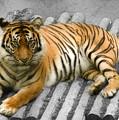 Tigers Look by Svetlana Sewell