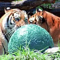 Tigers Playing by Kathleen Struckle