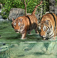 Tiger's Water Park by Don Olea