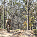 Tigress Walking Along A Track In Sal Forest Pench Tiger Reserve India by Liz Leyden