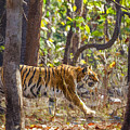 Tigress Walking Through Sal Forest In Pench Tiger Reserve  India by Liz Leyden