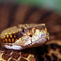 Timber Rattler Coil by Alan Look