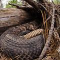 Timber Rattlesnake by Eric Abernethy