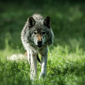 Timber Wolf Picture - Tw69 by Wolves Only