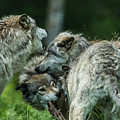 Timber Wolf Picture - Tw70 by Wolves Only