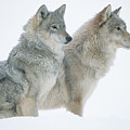 Timber Wolf Portrait Of Pair Sitting by Tim Fitzharris