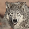 Timber Wolf Portrait by Sandra Bronstein