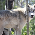Timber Wolf by Shane Bechler