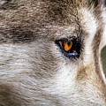 Timber Wolf Stare by Teri Virbickis