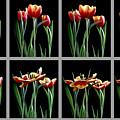 Time Lapse Tulips by Sam Davis Johnson