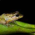 Tink Frog Diasporus Diastema by Panoramic Images