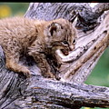 Tiny Bobcat Kitten by Larry Allan