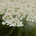 Tiny Cluster Of Queen Anne's Lace by Joan Dreps-De Marco