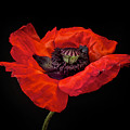 Tiny Dancer Poppy by Toni Chanelle Paisley
