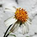 Tiny Flower  by Mesa Teresita