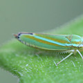 Tiny Leafhopper On Cucumber Leaf by Bonnie Boden