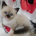 Tiny Micro Version Of Red White And Ragdoll Kitty Kitten Baby Cat Silktapestrykittenstm by Pamela Benham