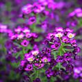 Tiny Purple Flowers by Jeanette Wygant
