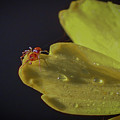 Tiny Spider On Petal by Tom Claud