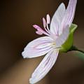 Tiny Spring Beauty by Linda Shannon Morgan