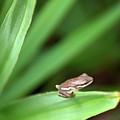Tiny Tree Frog 01110 by Anna Gibson