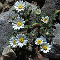 Tiny White Flowers In The Gravel by Tom Janca
