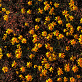 Tiny Yellow Flowrers On The Desert Floor by Tom Janca