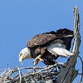 Tip Toeing Across Nest by Tony Fruciano