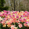Tiptoe Among The Tulips by Ally  White